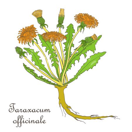 Hand Drawn Colored Bush of Blossoming Dandelion Isolated on White Background. Herbal with Latin Name Taraxacum officinale. Sketch Style Vector Illustration. Herbal Medicine and Food Industry Component. Foto de archivo - 132013363