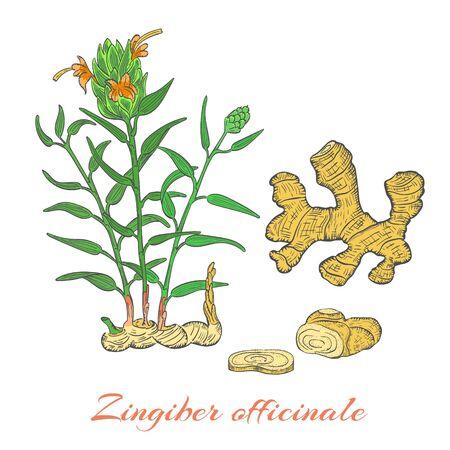 Bush color dibujado a mano de jengibre floreciente aislado sobre fondo blanco. Hierbas con nombre latino Zingiber officinale. Ilustración de vector de estilo de dibujo. Componente de la industria de la alimentación y la medicina herbaria. Ilustración de vector