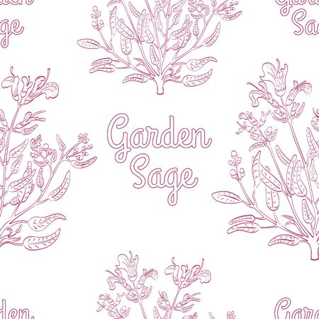 Seamless Background with Hand Drawn Herb known as Common Sage with Contoured Words Garden Sage. Seamless Pattern for Print on Fabrics, Paper, Web Usage etc. EPS 10 Vector Illustration. Illustration