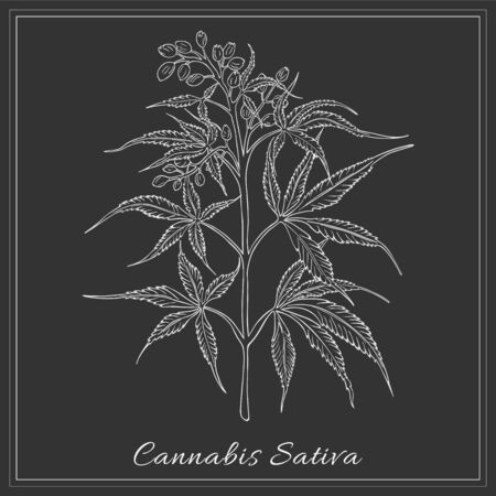 Hand Drawn Hemp made as Painted with White Chalk on the Blackboard. Herbal with Latin Name Cannabis Sativa Sketch Style Vector. Herb Used in Cosmetology, Food Industry, as Building Materials etc.
