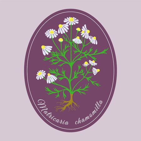 Hand Drawn Colored Bush of Blossoming Chamomile Put on Pink Background and Lilac Substrate. Herbal with Latin Name Matricaria chamomilla. Widespreadly Used Sedative, Anti-inflammatory Herb and as Tea. Vettoriali