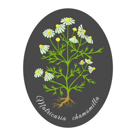 Hand Drawn Colored Bush of Blossoming Chamomile Put on White Background and Dark Substrate. Herbal with Latin Name Matricaria chamomilla. Widespreadly Used Sedative, Anti-inflammatory Herb and as Tea.