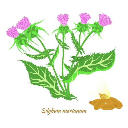 Hand Drawn Bush of Blossoming Scotch Thistle