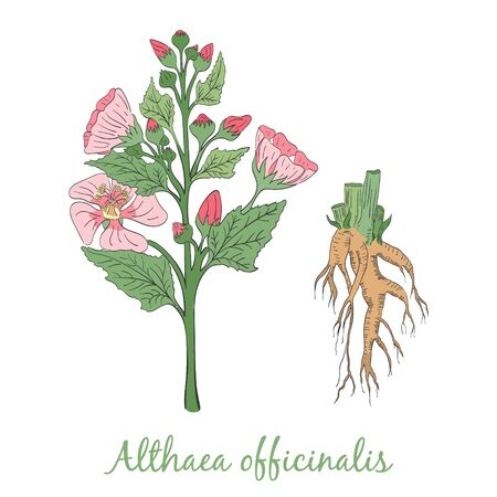 Hand Drawn Colored Bush of Blossoming Marsh-Mallow Isolated on White Background. Herbal with Latin Name Althaea officinale. Herbal for Traditional Medicine and Healthcare Industry