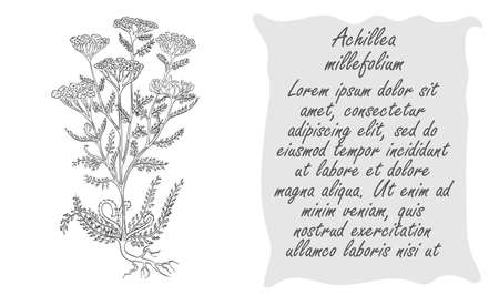 Banner with Black Bush of Common Yarrow. Square Substrate with Place for Description. Herbal with Latin Name . Sketch Style . Herbal Medicine and Food Industry Component.