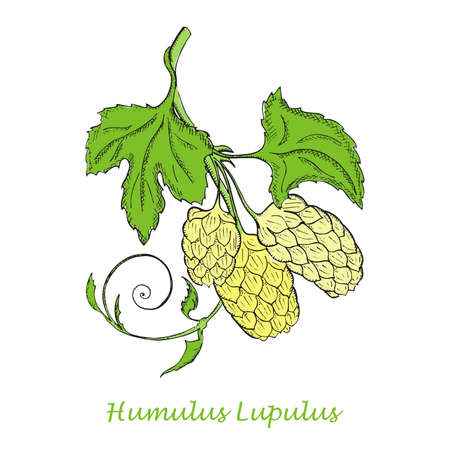 Hand Drawn Colored Branch of Hop with Cones Isolated on the White Background. Herbal with Latin Name Humulus Lupulus. Sketch Style  Illustration. Herbal Medicine and Food Industry Component.