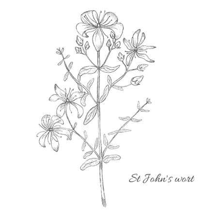 Pencil Drawn Vector Illustration of St.Johns Wort