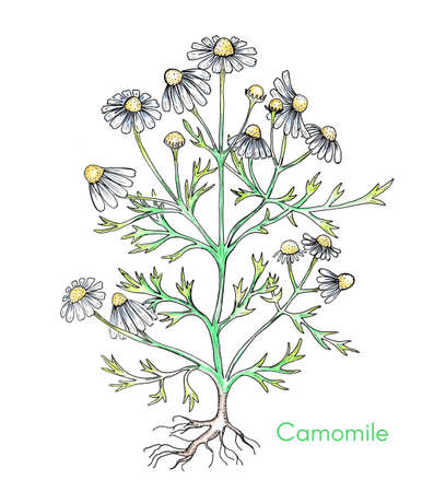 Hand Drawn Camomile Flower Colored with Watercolor Pencils 스톡 콘텐츠