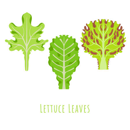 Three isolated different leaves of the Lettuce made in flat style. No outlined Symmetrical Leaves shapes filled with color only. Colorful vector illustration for product design, web and print usage. 矢量图像