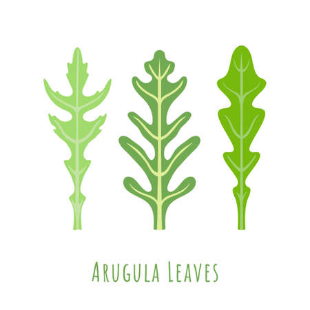 Three isolated different leaves of the Arugula made in flat style. No outlined Symmetrical Leaves shapes filled with color only. Colorful vector illustration for product design, web and print usage.
