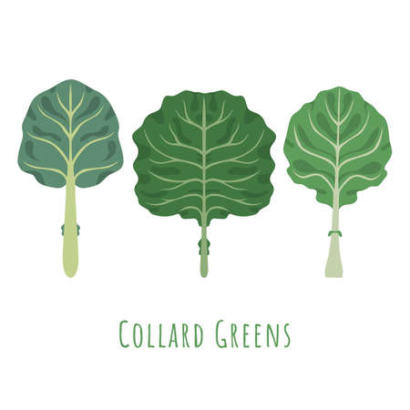 Three isolated different leaves of the Collard made in flat style. No outlined Symmetrical Leaves shapes filled with color only. Colorful vector illustration for product design, web and print usage. 矢量图像