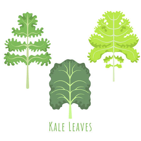 Three isolated different leaves of the Kale made in flat style. No outlined Symmetrical Leaves shapes filled with color only. Colorful vector illustration for product design, web and print usage. 矢量图像