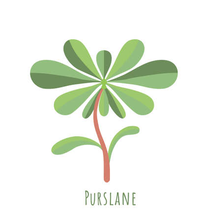 Single one Pursley isolated on white, made in flat style. No outlined Symmetrical leaves filled with color only. Colorful vector illustration for product design, web and print usage. 矢量图像