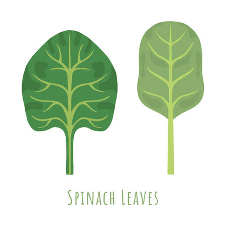 Two isolated different leaves of the Spinach made in flat style. No outlined Symmetrical Leaves shapes filled with color only. Colorful vector illustration for product design, web and print usage. 矢量图像