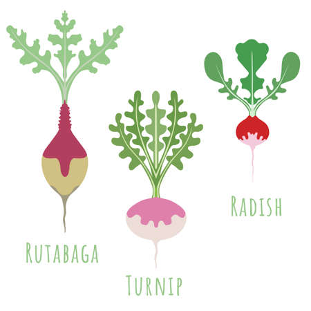 Rutabaga, turnip and radish isolated on white and made in flat style. No outlined Symmetrical shapes filled with color only. Colorful vector illustration for product design, web and print usage.
