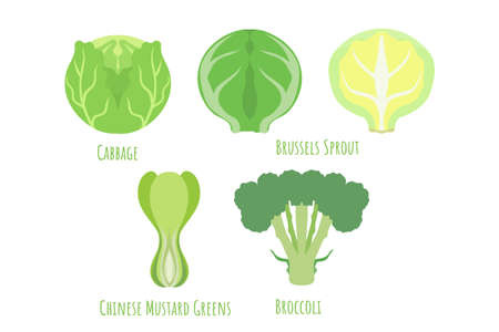 Common cabbage, chinese mustard greens, Brussels sprout and broccoli isolated on white, made in flat style. Symmetrical shape filled with color. Vector illustration for product design, web and print. 矢量图像