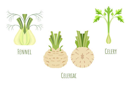 Whole and halved celeriac, fennel and celery isolated on white, made in flat style. Symmetrical shapes filled with color only. Colorful vector illustration for product design, web and print usage.