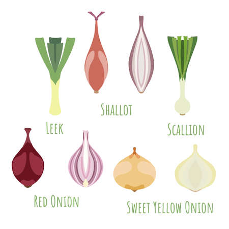 The leek, shallot, scallion, red and sweet yellow onions and made in flat style. Symmetrical shapes filled with color only. Colorful vector illustration for product design, web and print usage.