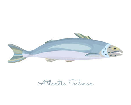 One Isolated Salmon fish made in flat style. Colored Salmon without outlines, with light glare and shadows. Fresh fish, product, healthy protein sea food with high level of Omega 3 acids.