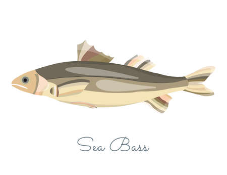 One Isolated Sea Bass fish made in flat style. Colored Sea Bass without outlines, with light glare and shadows. Fresh fish, seafood product, healthy source of protein and other nutrients. 矢量图像