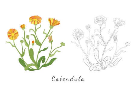 Two Hand Drawn Sketch of Calendula or desert marigold Herb with color and without. Vibrant Calendula Plant Isolated on White Background. Ideal for Magazine, Recipe book, Poster, Cards, Menu cover etc. Illusztráció