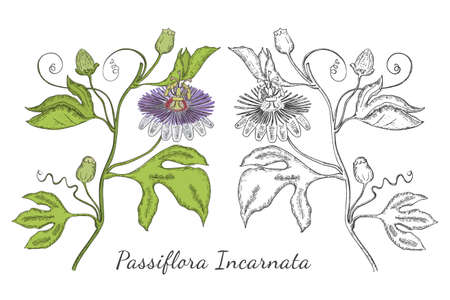 Two Hand Drawn Branch of Purple Passionflower made with color and without. Sedative Herbal with Named Passiflora Incarnata Isolated. Ideal for Magazine, Recipe book, Poster, Cards, Menu cover etc.