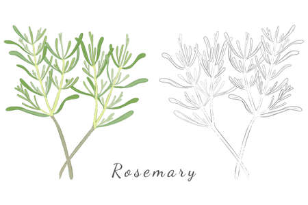 Hand Drawn Rosemary or Salvia Rosmarinus with Color Fill and without. Rosemary Twigs Isolated on White. Ideal for Magazine, Recipe book, Poster, Cards, Menu cover, any Advertising. Illusztráció
