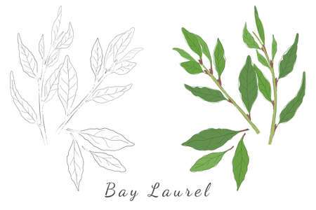 Two Hand Drawn Pictures of Laurel or Bay Tree with Color Fill and without. Laurel Shrubs Isolated on White. Ideal for Magazine, Recipe book, Poster, Cards, Menu cover, any Advertising.