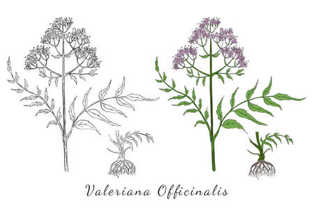 Two Hand Drawn Branch of Valerian with Root made with color and without. Herbal with Latin Name Valeriana Officinalis isolated on white. Herbal Medicine Component with Wide Range of Application.