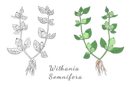 Two Hand Drawn Bushes of Ashwagandha made with color and without, Isolated on the White Background. Herbal with Latin Name Withania Somnifera. Leaflet for Traditional Indian Herbal Medicine.