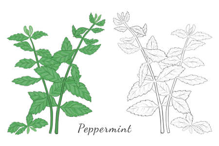 Two Isolated on White Hand Drawn Mint Herb Colored with Shades of Green and Blue. Contoured Herb Made with Brushes. Vector Illustrations for Food Products, Posters, Articles etc. Illusztráció