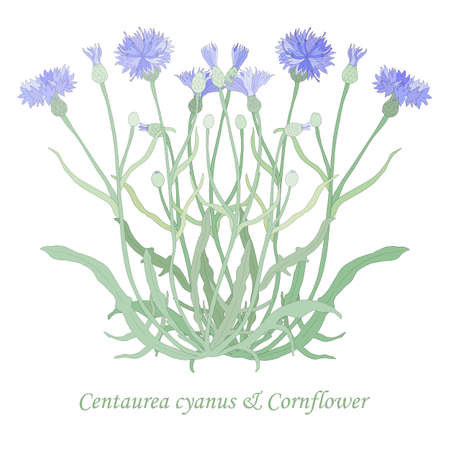 Hand drawn Cornflower or Centaurea cyanus isolated. Vibrant Cornflower with color fill and thin outlines. Ideal for Magazine, Recipe book, Poster, Cards, Menu cover, any Advertising. Illusztráció