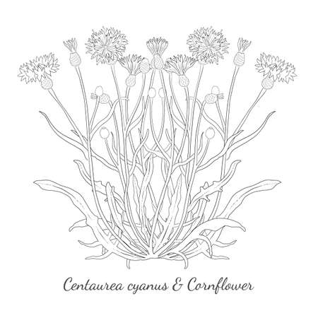 Hand drawn Cornflower or Centaurea cyanus isolated. Cornflower with thin regular and dotted outlines. Ideal for Magazine, Recipe book, Poster, Cards, Menu cover, any Advertising. Illusztráció