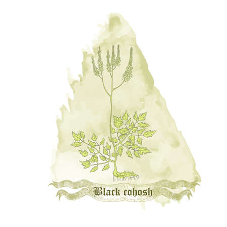 Composition with Contoured Actaea racemosa , filled with Green color. Fairy Candle placed on the Watercolor Spot. Hand drawn vintage ribbon with the title. Illusztráció