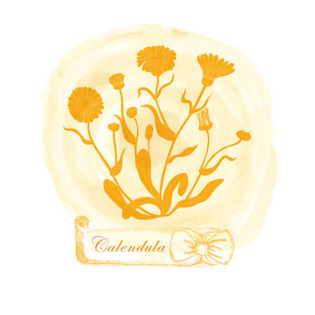 Composition with Yellow Contour Calendula officinalis, filled with orange color. Common marigold placed on the Watercolor Spot. Hand drawn vintage ribbon with the title.