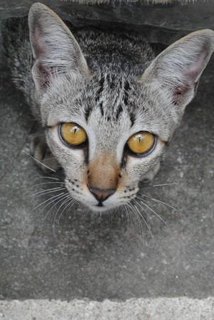 gray cat: Cat