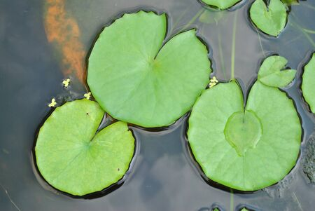 The details of huge Lotus leafs over water photo