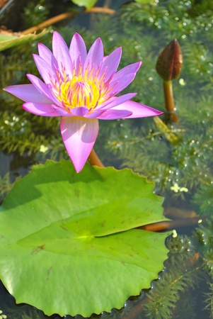 The lotus is growing in the water photo