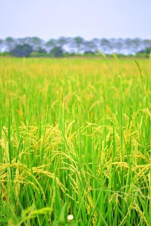 A ear of paddy is growing in the field