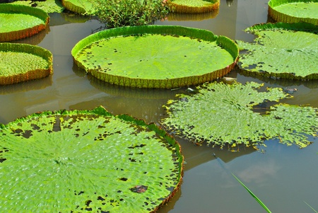 The details of huge lotus leafs over water Stock Photo - 9341890