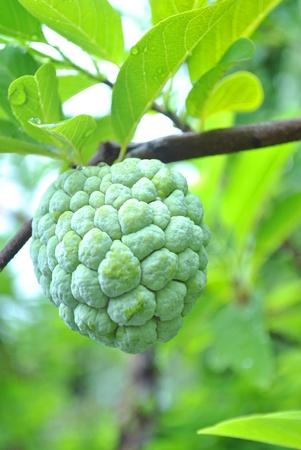 The custard apple is on tree of itself photo