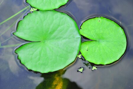 The details of huge lotus leave over water Stock Photo