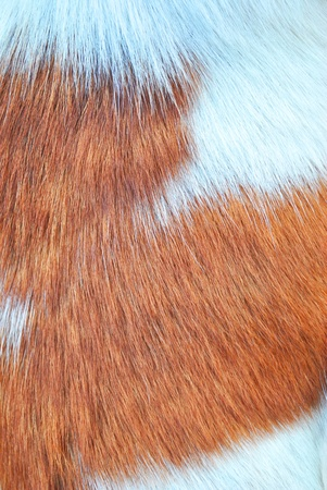 Dog feather texture is white and brown photo