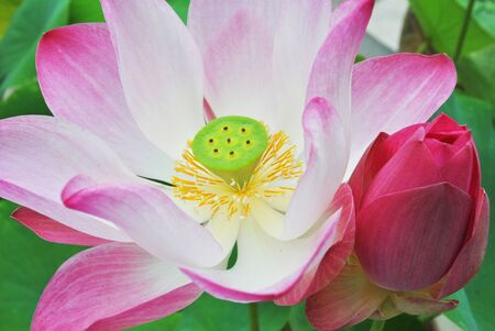 The beautiful lotus is in the water photo