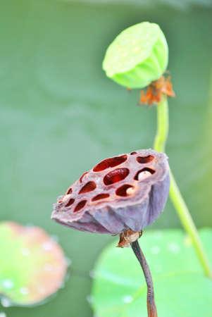 Fresh dry lotus is in the garden Stock Photo - 9974173