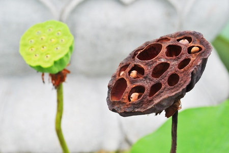 Fresh dry lotus is in the garden Stock Photo - 9974172