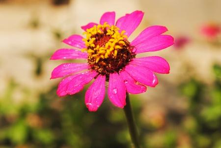 Fresh pink flower is in the garden photo