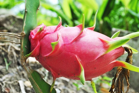 pitahaya: The dragon fruit is grow up and very beautiful Stock Photo