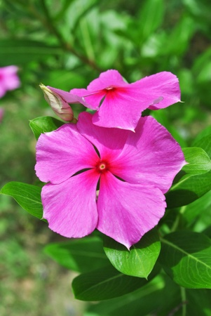 Beautiful pink flower grow in the garden Stock Photo - 10684326