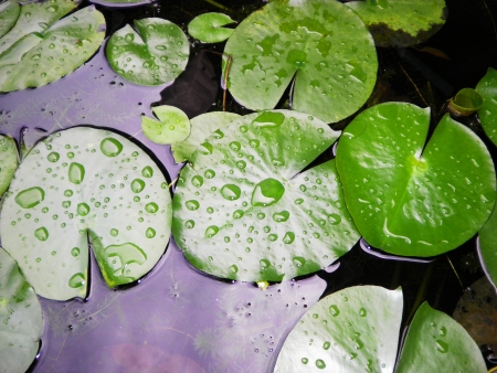 The detail of huge lotus leaf on water            Stock Photo